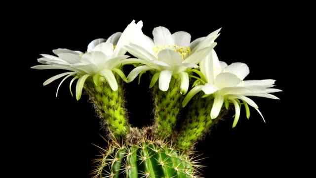 Cactus Flowers Blooming video
