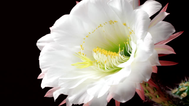 Cactus Flower's Life Cycle video