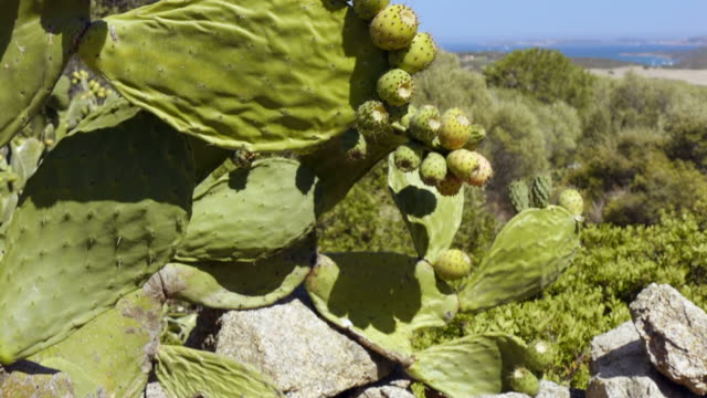 Cactus plants with indian figs video