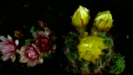 cactus, which blossoms flower. video
