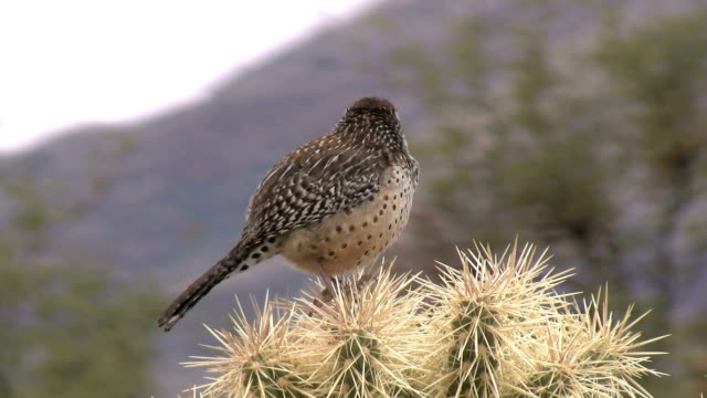 Cactus Wren Perched On Cacti video