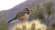 Cactus Wren Vocalizing video