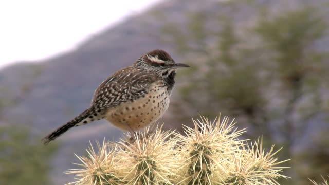Cactus Wren Vocalizing video
