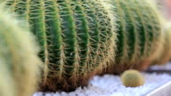Cactuses video