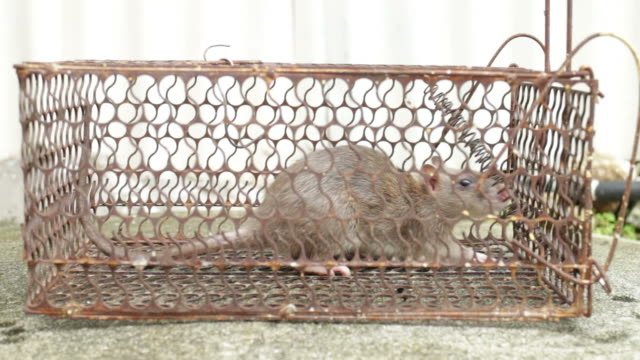 Caged Rat Trapped video