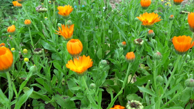 Calendula flowering in garden video