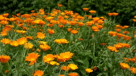 Calendula herb plant blooms move in wind in rural farm plantation video