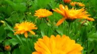 Calendula marigold medical flowers blossoms Slider video