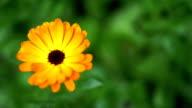 Calendula or pot marigold, edible, orange, daisy like flower. video