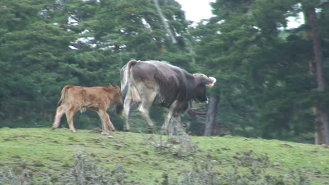 Calf and cow walking video
