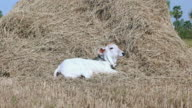 Calf enjoying lying down by a pile of hay video