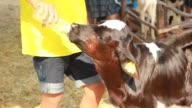 calf feeding video