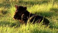 Calf lying in the sun video