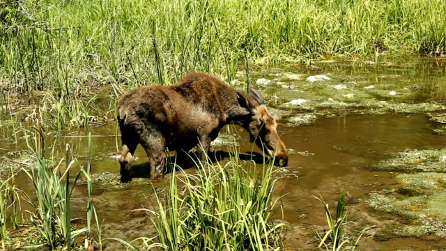 calf moose feeding in a spring video