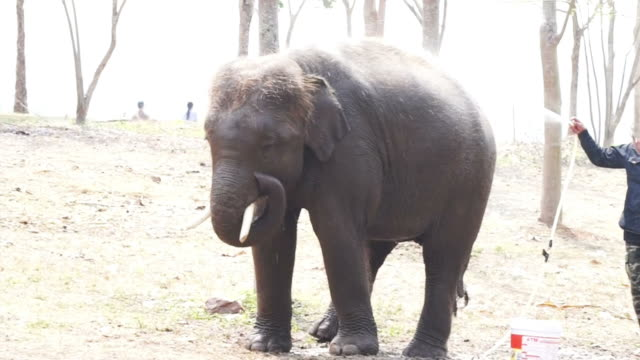 calf, small elephant bathing from hose video