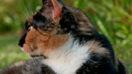 Calico cat outdoors yawning video