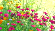 Califonia poppies field in springtime 4K video