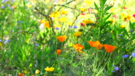 Califonia poppies field in springtime video