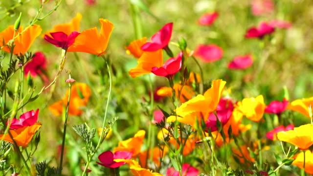 Califonia poppies field in springtime video