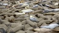 California Elephant Seals in Piedras Blancas point Big Sur video