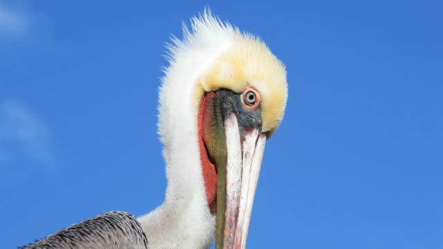 California Gey Pelican video