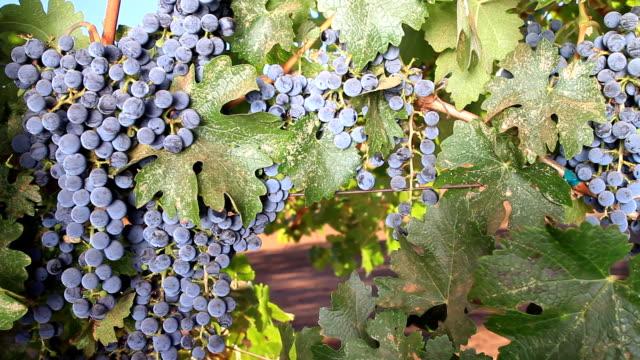 California Grapes video