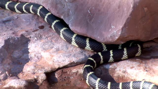 California King Snake Slithering Left On Red Rocks 2 video