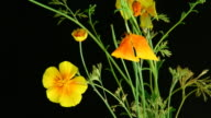 California poppies blooming video