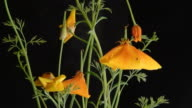 California poppies video