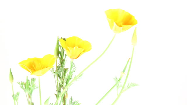 California poppy blooming video