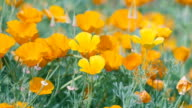 California Poppy Flowers,at Showa Memorial Park,Tokyo,Japan video