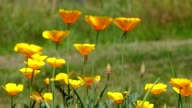 California poppy video
