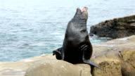 California Sea Lion yawning on rock HD video