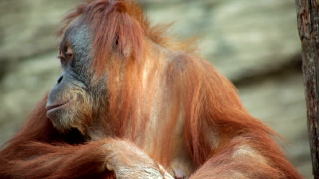 A calm and peaceful orangutan female is sitting on shaky platform and looking around. video