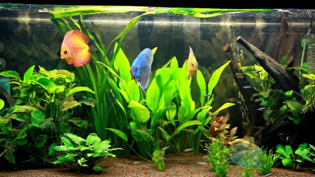 Calming discus fish aquarium video