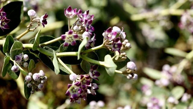 Calotropis Gigantea video
