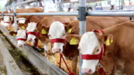 Calves and Cows in Cowshed video