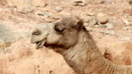 Camel chewing the cud HD1080 video