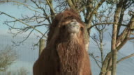 Camel chewing video