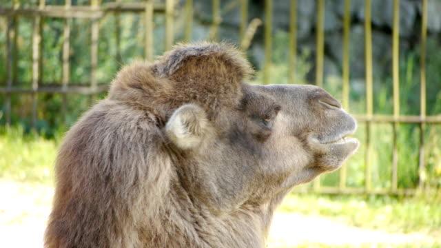 HD - Camel. close-up video