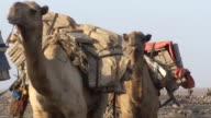 Camel convoy in the ethiopian desert video