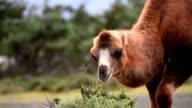 camel eating grass close up video