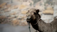 A  camel eating grass in the shore of the Medirerranean sea video
