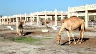 Camel farm in Bahrain video