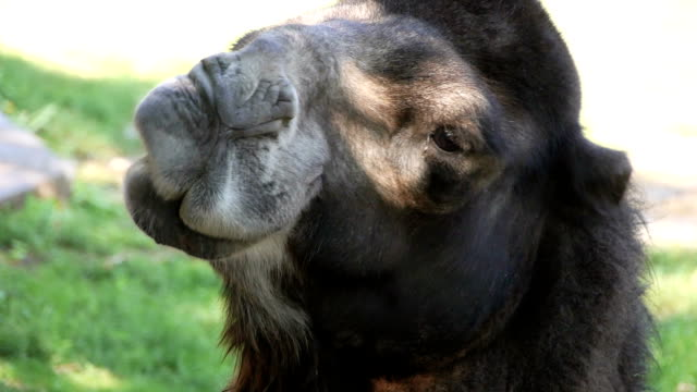 Camel funny face video