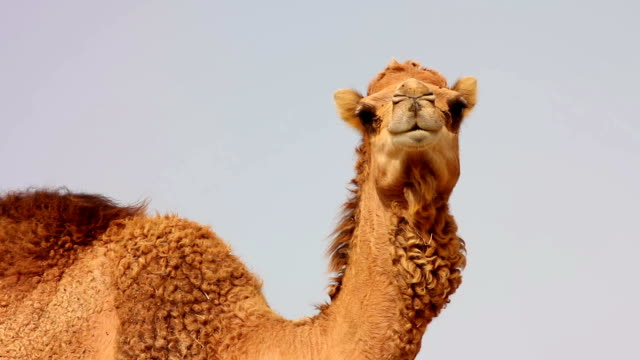 Camel in desert video