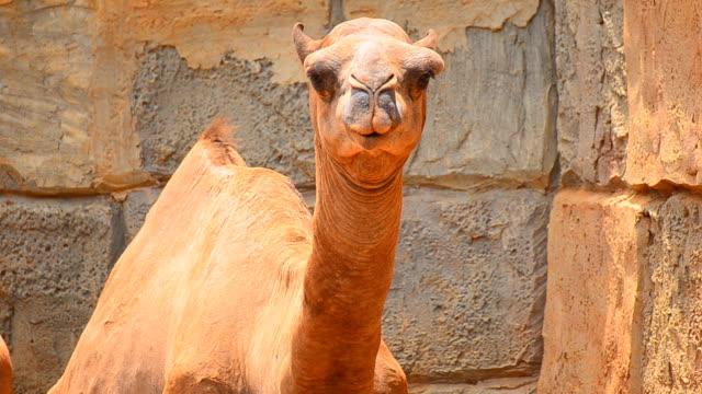 Camel looking at camera video