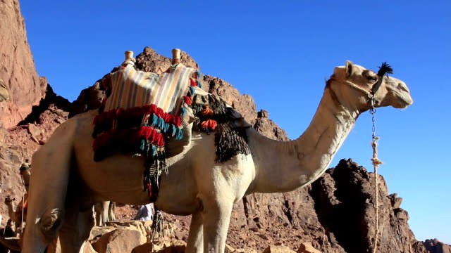Camel. Mount Sinai. Egypt video