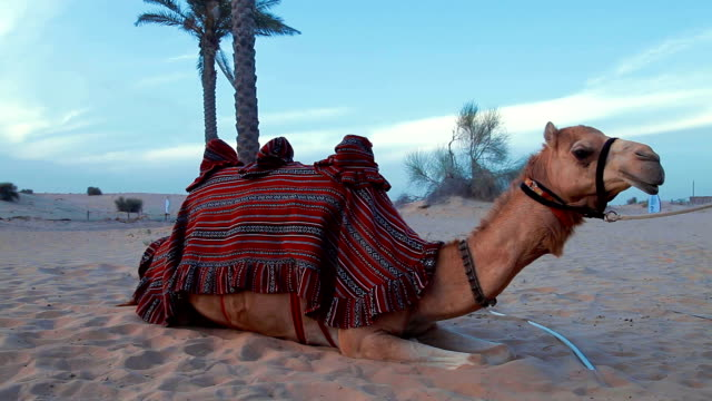 Camel resting in the desert video