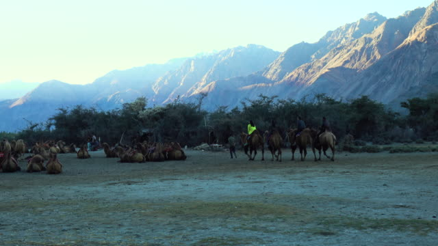 Camel safari at Hundar sand dunes in Nubra Valley, Ladakh, North India video